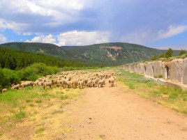 The trail followed a dirt road for a short distance after dropping down Kokomo Pass, with a huge flock of sheep meandering along it.